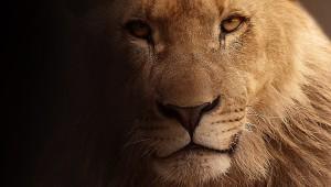 В Оттаве был застрелен сбежавший из зоопарка лев