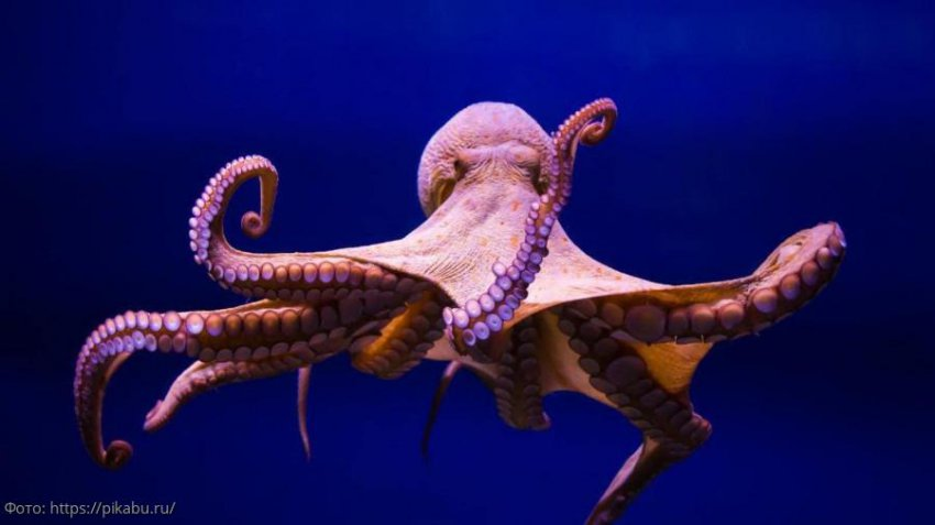 Ученые из США установили анатомическое сходство осьминогов и инопланетян
