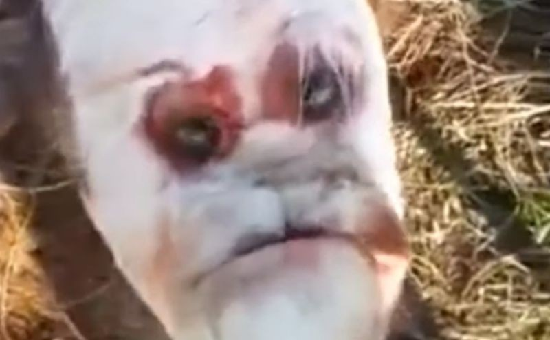В Аргентине на свет появился теленок с «человеческим лицом»