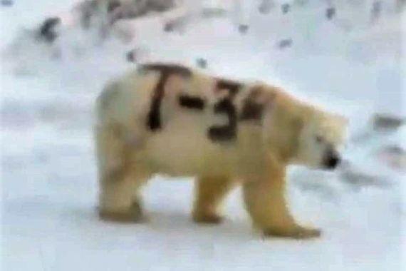 На российском севере появился белый медведь «Т-34»