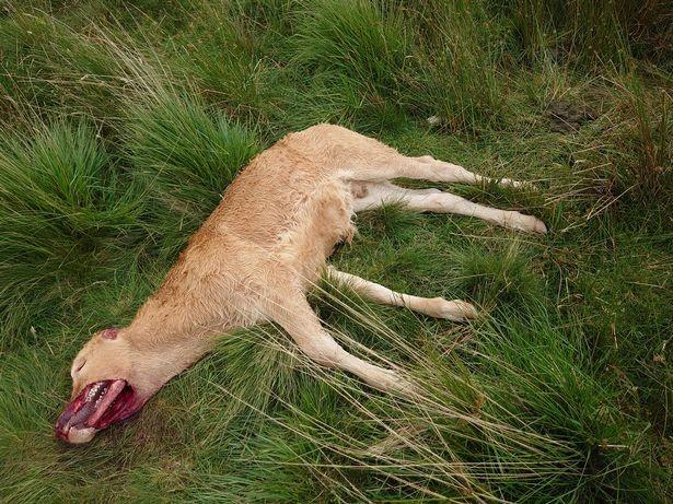В Англии нечто с хирургической точностью вырезало у теленка на морде мясо: местные жители напуганы