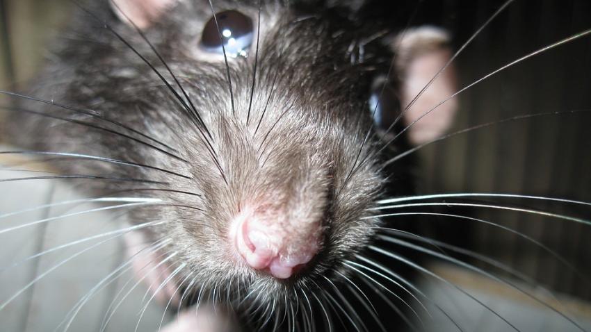 В Нью-Йорке голодные крысы начали нападать на людей