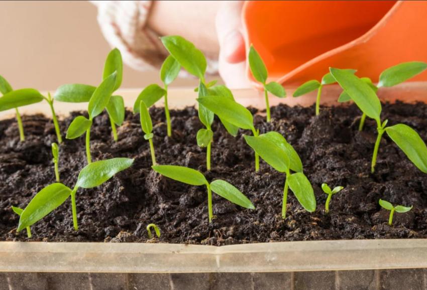 Огородникам на заметку: когда сеять семена перца, помидоров и баклажан на рассаду в 2021 году