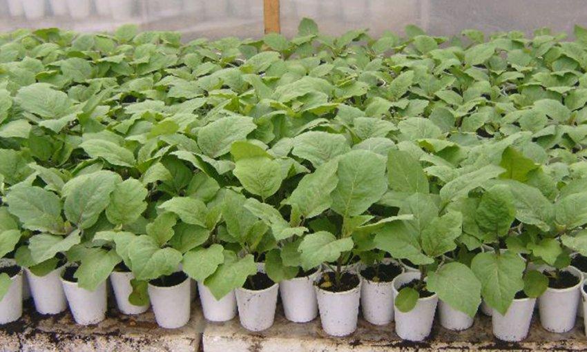 Когда высаживать рассаду перца и баклажанов в феврале 2021 года, чтобы получить хороший урожай