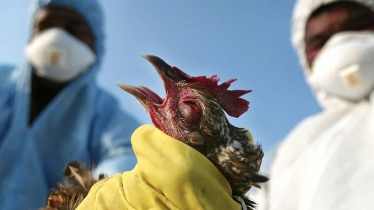 Может ли новый штамм птичьего гриппа, обнаруженный в РФ, спровоцировать эпидемию этого заболевания