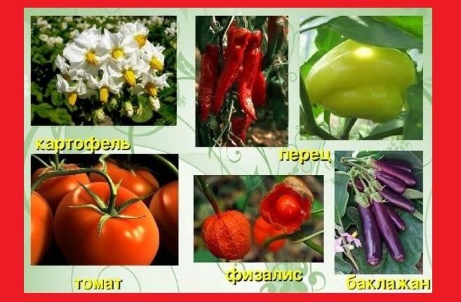 Что лучше всего сажать на следующий год после картофеля, и с какими огородными культурами он наиболее совместим