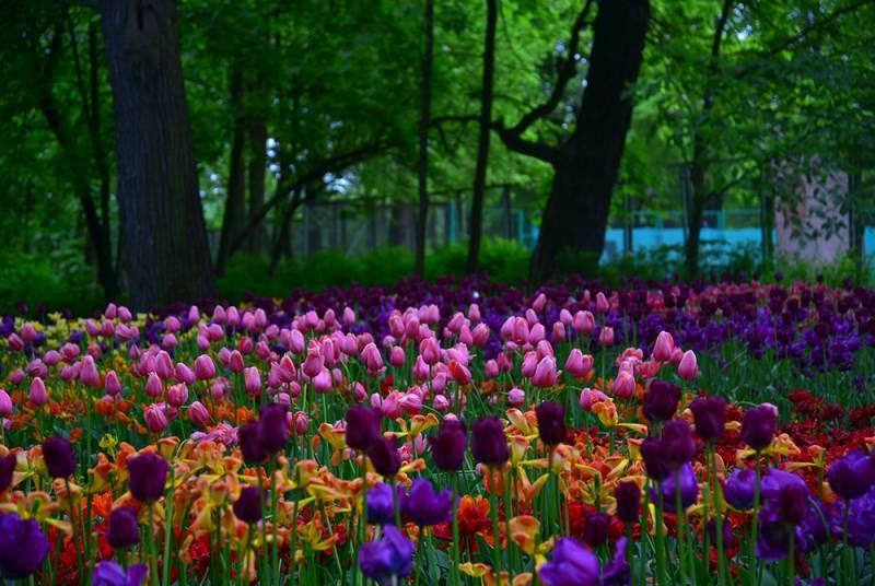 Традиционный Фестиваль тюльпанов в 2021 году проходит на Елагином острове в Санкт-Петербурге
