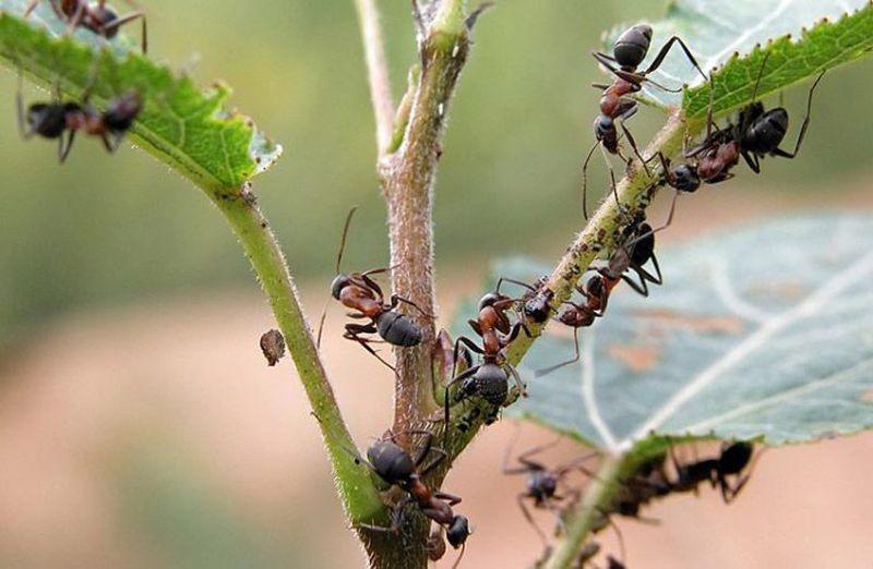 Польза и вред муравьев на дачном участке