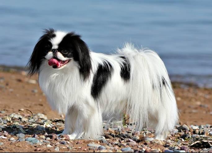 Породы собак, которые не обязательно часто выгуливать