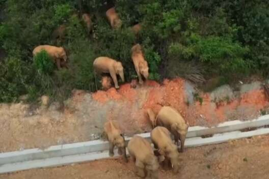 Мигрирующие китайские слоны стали популярными в социальных сетях