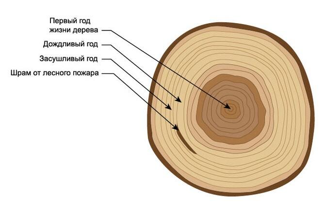 Дендрохронология - о чём могут рассказать деревья