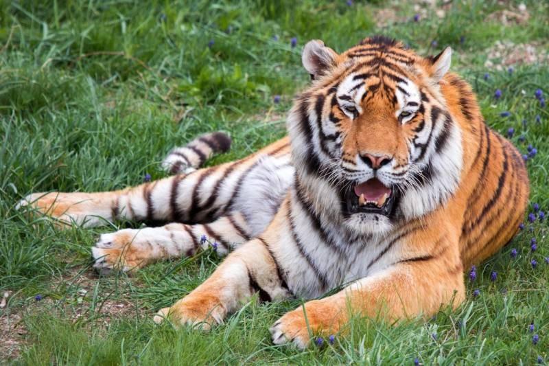 Ребенку ампутировали палец после атаки тигра в сафари-парке «Тайган»